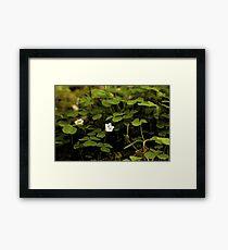 Wood Sorrel, Ness Woods, County Derry Framed Print