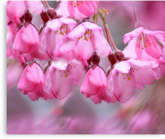 Pink by Chris Armytage™