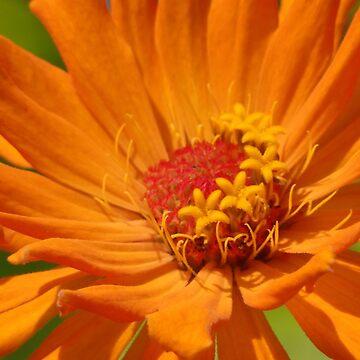 Orange Zinnia by JimmyGlenn