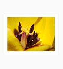 Macro red edged Picotee yellow Tulip Art Print