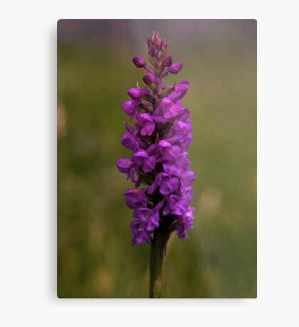Fragrant Orchid, Dun Eochla, Inishmore Metal Print
