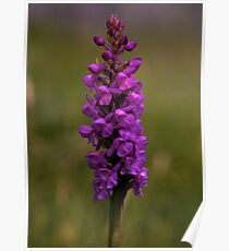 Fragrant Orchid, Dun Eochla, Inishmore Poster
