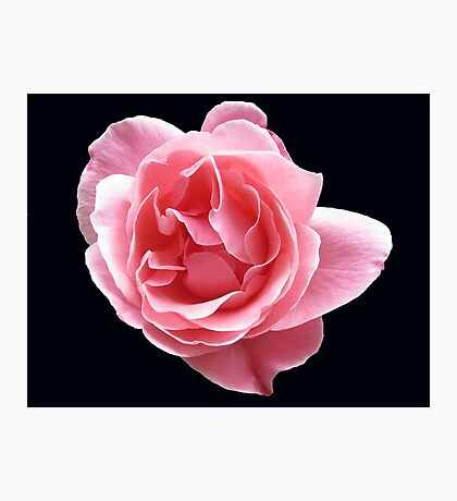 Radiant Pink Rose on Black Background Photographic Print