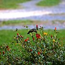 Hummingbird by Lexi