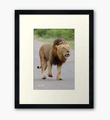 RESPECT WITHOUT CHOICE - THE LION - Panthera leo - LEEU Framed Print