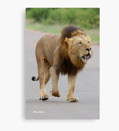 RESPECT WITHOUT CHOICE - THE LION - Panthera leo - LEEU Canvas Print