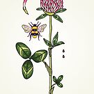 aromatic red clover by smalldrawing