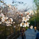 Spring Blossoms in Seoul by koreanrooftop