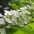 Oak Leaf Hydrangea by Maryann Harvey