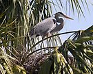 Blue Heron on the nest by wolftinz