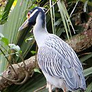 Yellow-crowned Night Heron In a Tree by AuntDot