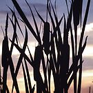 Cattails at sunset.   by RichImage
