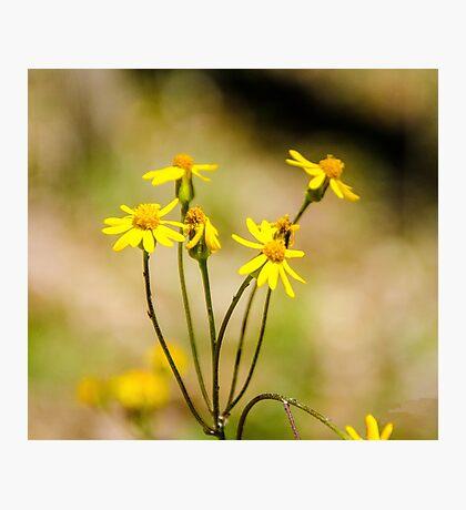 Golden Ragwort Photographic Print