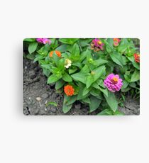 Colorful pink and orange flowers in green leaves bush in the garden. Canvas Print
