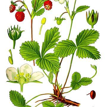 alpine strawberry by jackwhite87