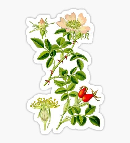rosehip Sticker