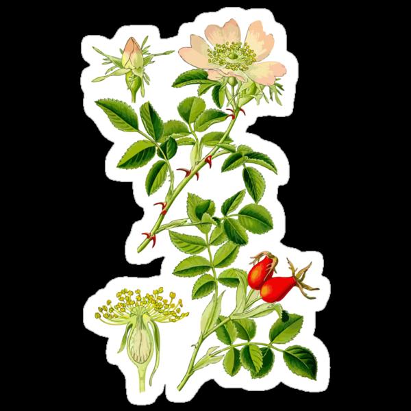 rosehip by Alex Magnus