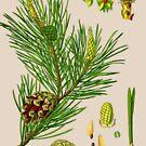 pine by Alex Magnus