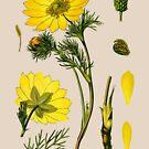 spring adonis by Alex Magnus
