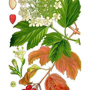 guelder rose by jackwhite87