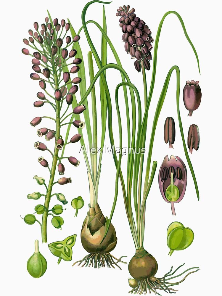 hyacinthe by jackwhite87
