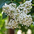 Crape Myrtle Blossoms by Bine