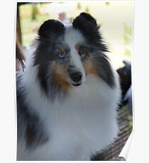 Blue Merle Beauty Poster