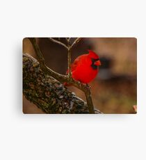 Portrait of a Redbird Canvas Print