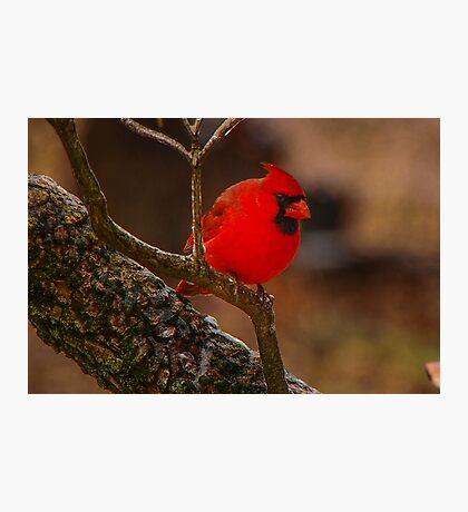Portrait of a Redbird Photographic Print