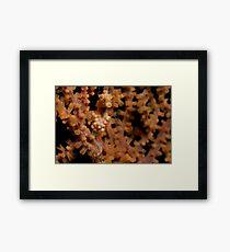 Pygmy Seahorse, North Sulawesi, Indonesia Framed Print