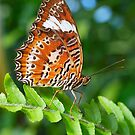 Orange Lacewing Profile by Penny Smith