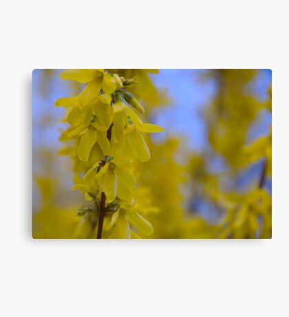 Yellow flowers near the Talvera River, Bolzano/Bozen, Italy Canvas Print