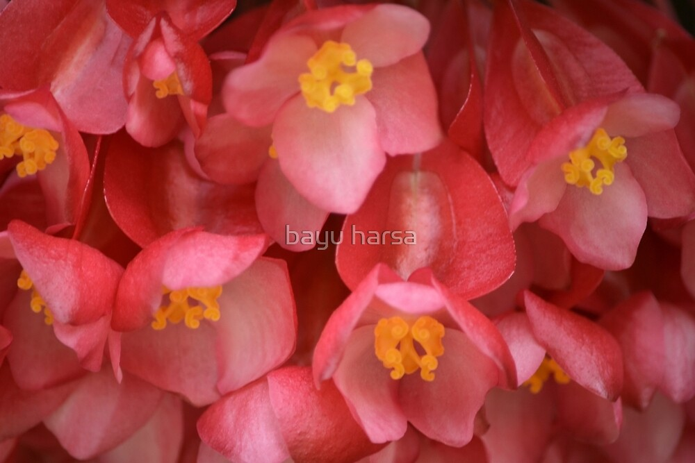 red euphorbia flower by bayu harsa