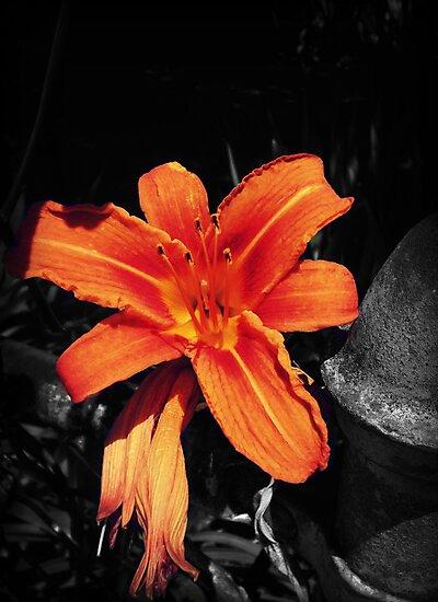 Tiger Lily by Amanda Vontobel Photography/Random Fandom Stuff