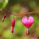 Bleeding Heart by Dalmatinka