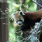 Red Panda by Madsen1981