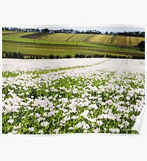 Poppy Field at Table Cape Poster