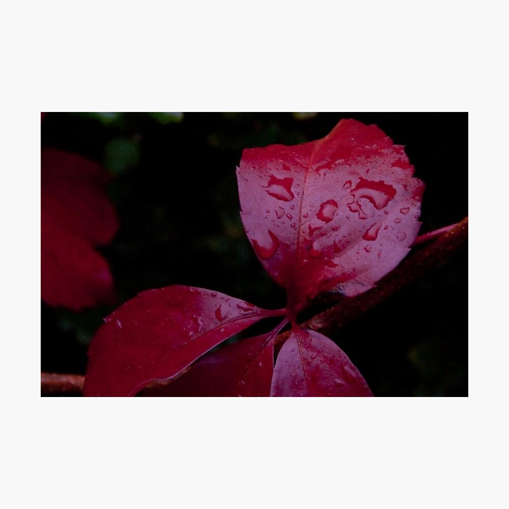 Red Leaf Raindrops, Bolzano/Bozen, Italy Photographic Print