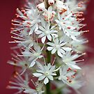 Tiarella - By The Red Barn Door by T.J. Martin