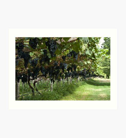 Grapes in the Castle Mareccio Vineyard, Bolzano/Bozen, Italy Art Print