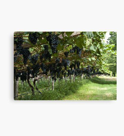 Grapes in the Castle Mareccio Vineyard, Bolzano/Bozen, Italy Canvas Print