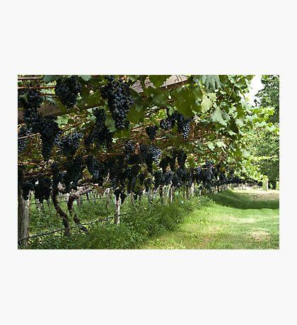 Grapes in the Castle Mareccio Vineyard, Bolzano/Bozen, Italy Photographic Print