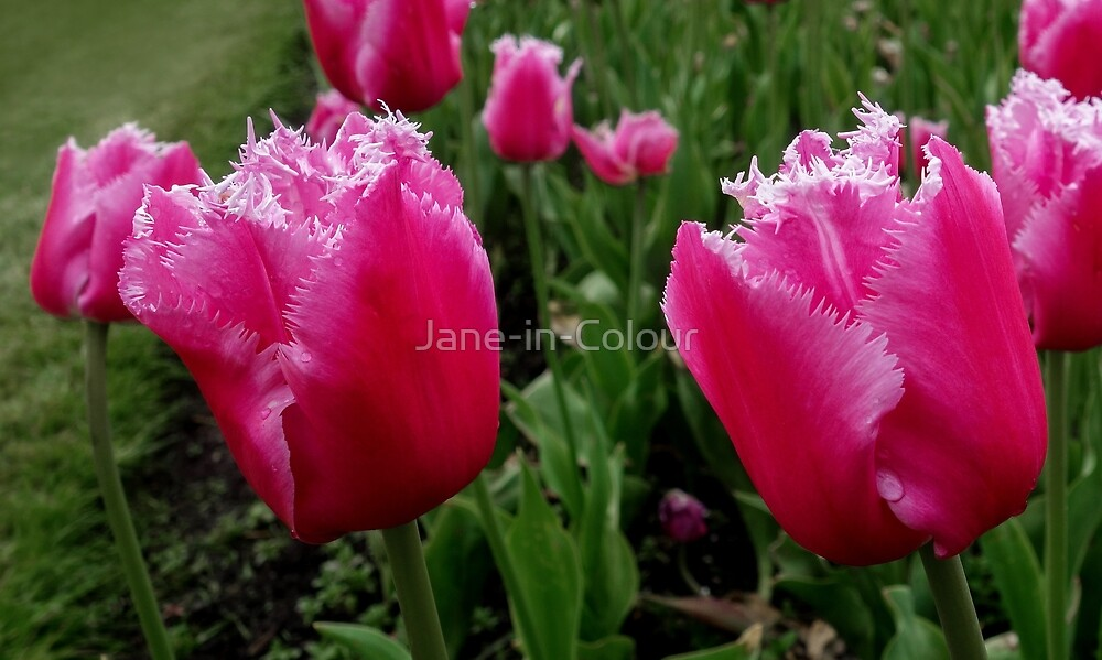 Fringed Tulips by Jane-in-Colour