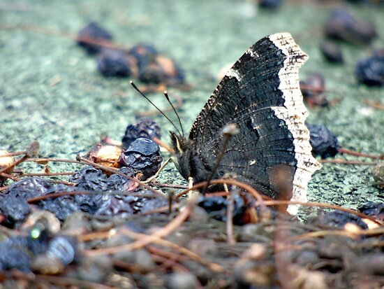 Mourning cloak butterfly . by RedCurrant8