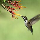 Hummingbird by Bob Hardy