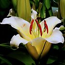 WHITE LILY...SUNDAY by RoseMarie747