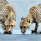 WHEN THIRST TAKES OVER - CHEETAH – Acinonyx jabatus – Die Jagluiperd by Magriet Meintjes