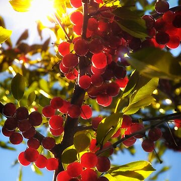 Sunshine Cherries by karimala