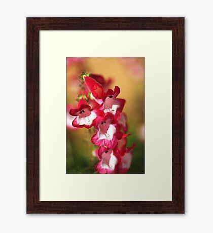 Penstemon Flowers Framed Print