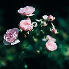 Pink roses by ilva